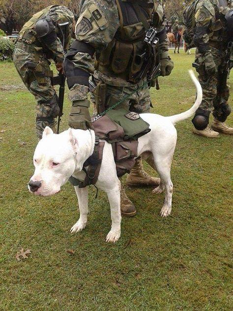 #Dogo Argentino military training