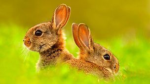 BBC EarthSupposedly rabbits just breed and breed and breed, producing huge numbers of offspring. Physically they can, but it doesn't happen