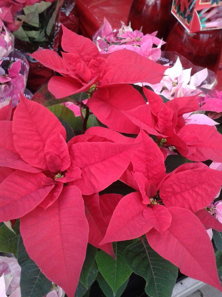 A mikulásvirág általában alkalmi szobadísz, mert a műkedvelő kertészek számára a növény tartása, a növény ismételt virágzásra késztetése nehézséget okoz. http://kertlap.hu/mikulasvirag/