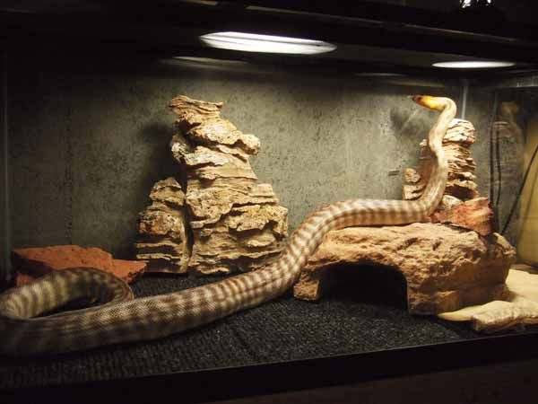 woma python enclosure | reptiles and phibs | Pinterest ...