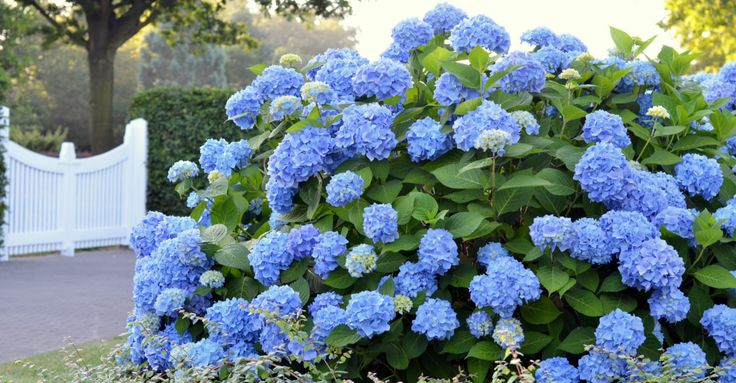 17 best ideas about hydrangea colors on pinterest hydrangea garden hydrangeas and hydrangea care. Black Bedroom Furniture Sets. Home Design Ideas