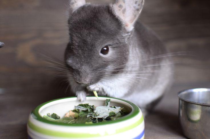 Szynszyla jedząca zioła - suszone zioła w postaci mieszanki. Siano i zioła to najważniejsze elementy diety szynszyli. #szynszyle #dieta #diet #szynszyla #uszynszyla #chinchillas #herbs