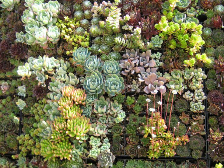 Infographic Ideas infographics sedums for sale : 1000+ ideas about Where To Buy Succulents on Pinterest ...