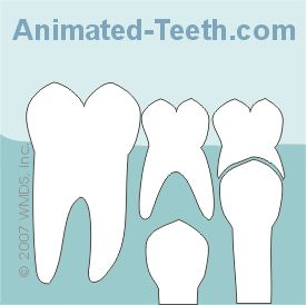 Animation to demonstrate how Baby teeth (deciduous teeth) are replaced by permanent teeth.