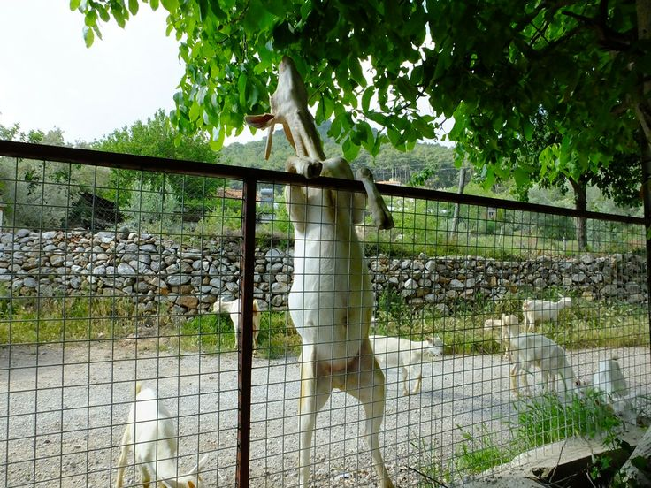 Keci by Sedat Şener on 500px #fethiye #keci #köy #natural #nature #village #sanen #kizilbel