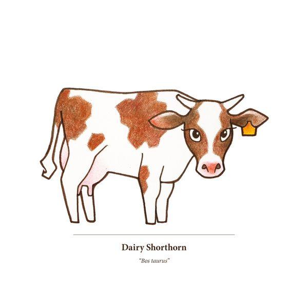Dairy Shorthorn Art Print