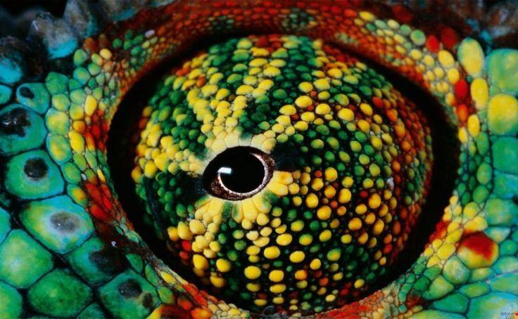 Trioceros jacksonii (common names Jackson's Chameleon or Three-horned Chameleon) is an African chameleon belonging to the chameleon family (Chamaeleonidae). Description from pinterest.com. I searched for this on bing.com/images