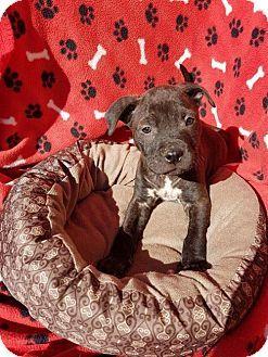 Arlington, WA - Staffordshire Bull Terrier Mix. Meet Roxie  A Staffordshire Terrier mix puppy, a puppy for adoption. http://www.adoptapet.com/pet/17709046-arlington-washington-staffordshire-bull-terrier-mix