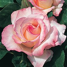 Secret Hybrid Tea Rose. Exhibition quality blooms. Fragrant 5 to 7 inch blooms are rich cream brushed with pink on the outer edges. Heavy flowering, upright plants are covered with glossy green leaves. Grows 4 to 5 feet tall.