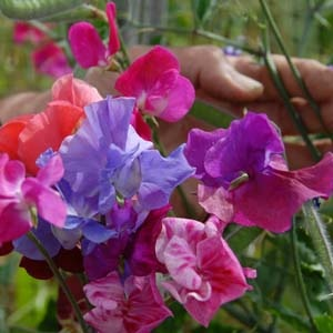Sweet Pea Plant 'Spencer' Mix