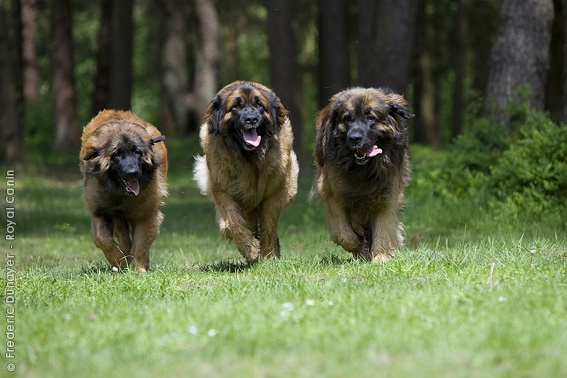 i can't wait to have my own little pack of Leonbergers.