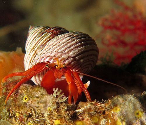 Hermit Crab | Flickr - Photo Sharing!