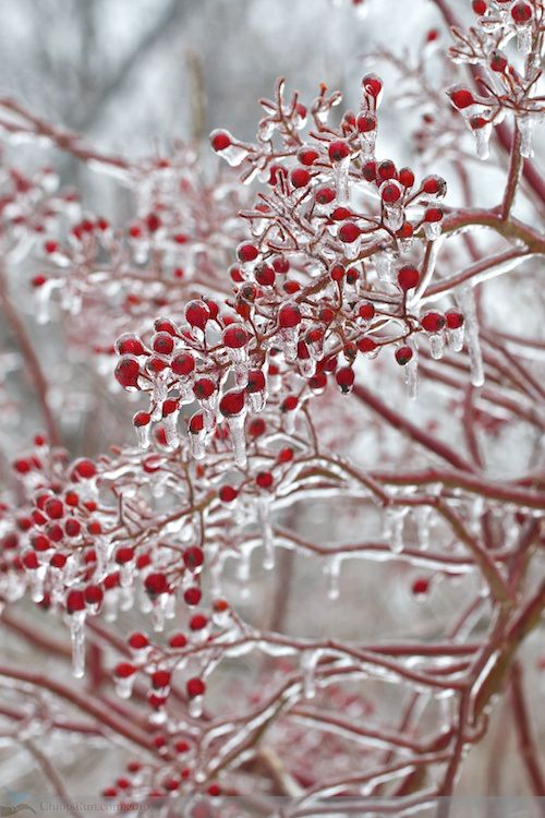 A beautiful ice storm! Ice covered berries and branches. #winter