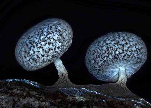 Fluorescent fungus    Slime mould is no ordinary mould - it's a fungus that also has animal genes. Although they possess no nervous system, slime moulds have been shown to navigate mazes and communicate with one another. The spores of the slime mould Physarum leucophaeum are seen here in a fluorescent micrograph from Dalibor Matýsek of VŠB-Technical University of Ostrava, Czech Republic. His image received honourable mention and shows off the beautiful patterns and structures of this strange…