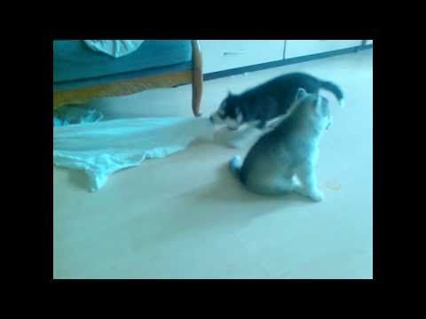 Щенки сибирского хаски Siberian husky puppies. Siberian Wanderer kennel. Odessa