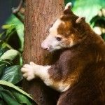 Tree Kangaroo Facts | Follow Me For Tree Kangaroo Diet & Habitat