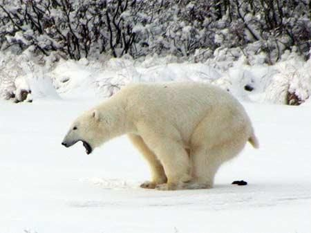 Fun animal Fact: Polar Bears yell when they poop. You're welcome. ;)
