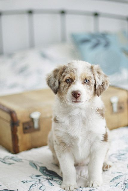 Sweet Aussie Puppy! Pet Photography | Dog | Fun photo session Ideas | Props | Portraits | Australian Shepherd
