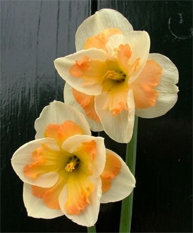 Narcissus Pink Wonder - Split-Cup Narcissi - Narcissi - 50