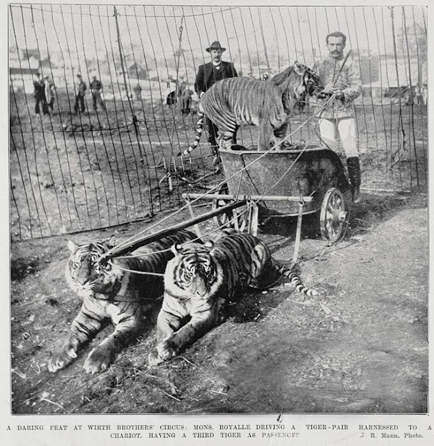 'A Daring Feat' The Tiger Chariot Act of Wirth's Circus.  (J.R. Mann Photographer Auckland Weekly News 19 May 1902  Reproduced with the kind courtesy of  Sir George Grey Special Collections, Auckland Libraries, AWNS-19020529-10-3)