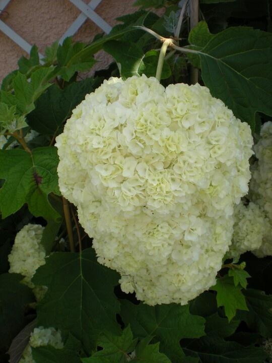 Hortensia quercifolia harmony