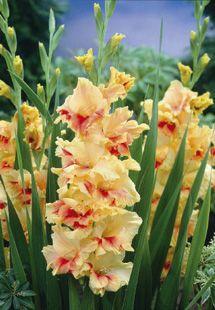 Puutarhasi elämään - Gladiolus Gladiolukset Gladioluksen kasvatus Gladioluksen kasvatusohjeet Miekkalilja Gladioluksen hoito Kevään kukkasipulit Kukkamukulat