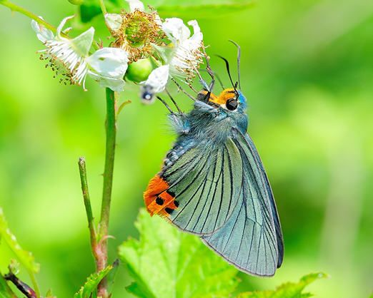 봄에 피는 아카시아꽃을 즐겨 찾는 푸른큰수리팔랑나비