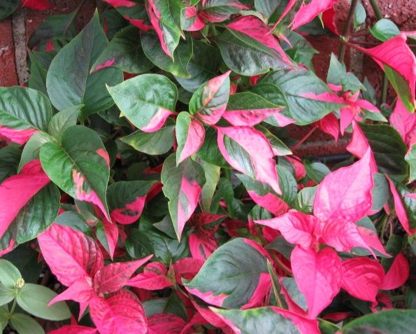 PLANTS WITH COLORFUL LEAVES This plant is a beauty and has an unusual name Alternanthera Partytime.  It has bright pink and green leaves.   It loves the shade which is a bonus in the front of my house because of the trees.