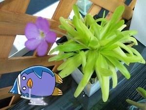ムシトリスミレ。花は可愛いけど、葉の上では虫が消化されている最中でした。