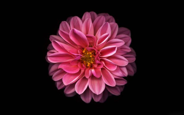 Dahlia Flower Wallpaper Iphone Android Desktop Backgrounds Flower Iphone Wallpaper Hd Flower Wallpaper Red Flower Wallpaper