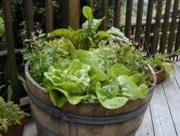 Salad garden.Green Thumb, Outdoor Decor, Salad Gardens In, Plants Gardens, Lettuce Gardens, Gardens Outdoor, Salad Gardens Lik, Outdoor Life, Rivers Nurseries