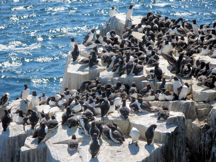 If you like seabirds you 'll love the #Farne Islands; an astonishing variety and number of birds; here guillemots