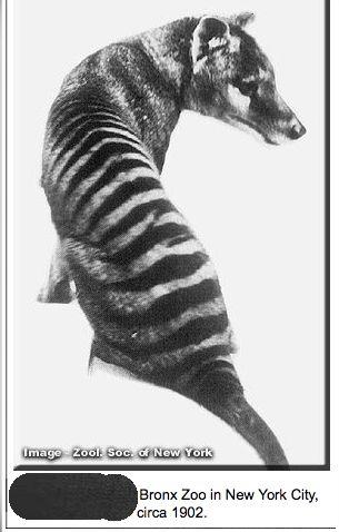 Thylacine. Also known as the Tasmanian Devil