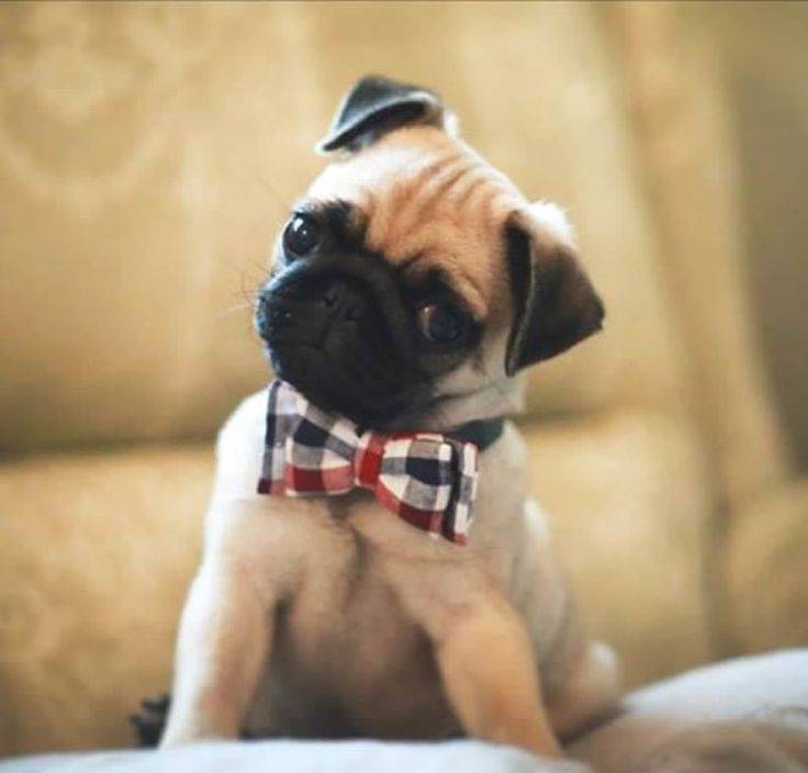Pug in bow tie...how adorable!