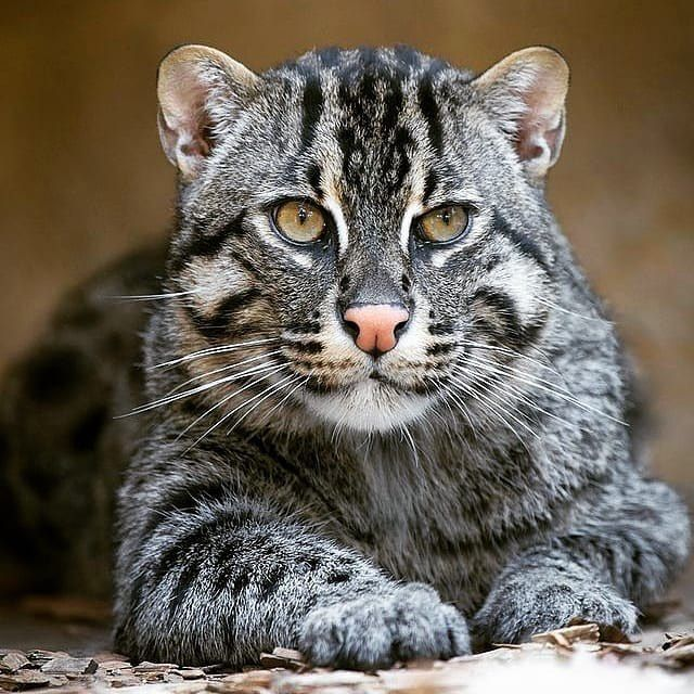 Wildliveplanet On Instagram The Gorgeous Fishing Cat Is A Mid Sized Cat Found In South And Southeast Asia Fishing Cats Breed On Cat Breeds Cats Wild Cats