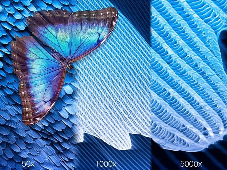 The wing of a beautiful blue morpho butterfly (Morpho ...