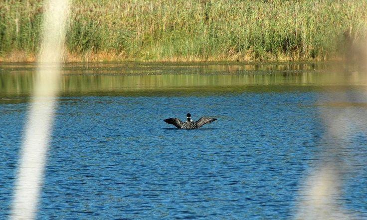 #wildlife #release #loon