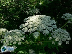 Invasive Species: Giant Hogweed