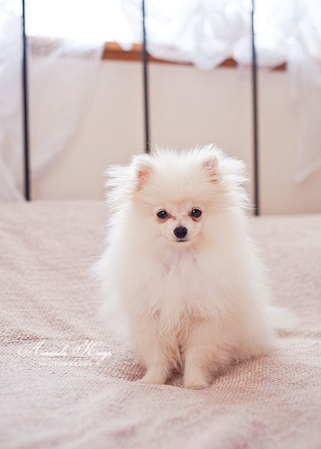 Pomeranian... My sister in law has one in black, I love her <3 The dog, lol :)