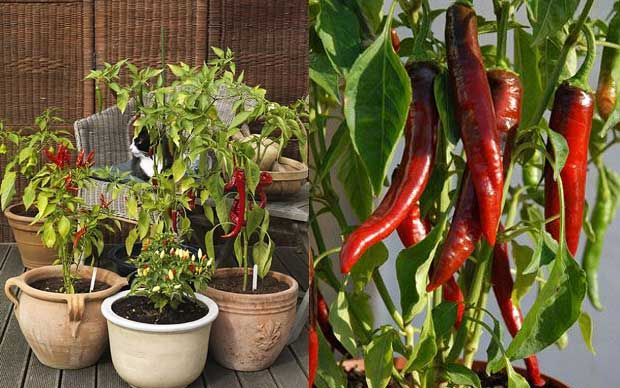 Even in the coldest parts of the UK, it is possible to grow your own chillies   and January to February is the perfect time for planting peppers.