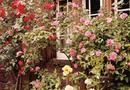 What to Do About Yellow Leaves and Other Diseases on a Lady Banks Rose Bush | Home Guides | SF Gate