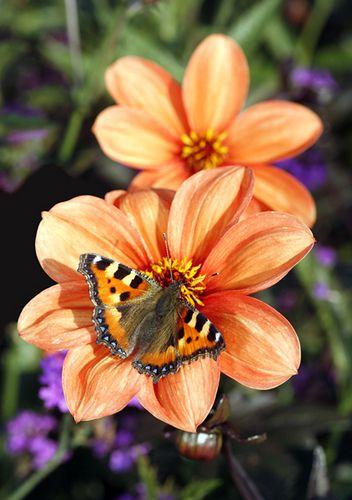 Dahlias & Tortoiseshell Butterfly • by brianrosshaslam