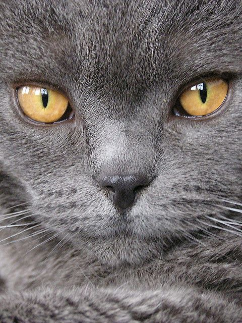 beautiful face #cat #grey