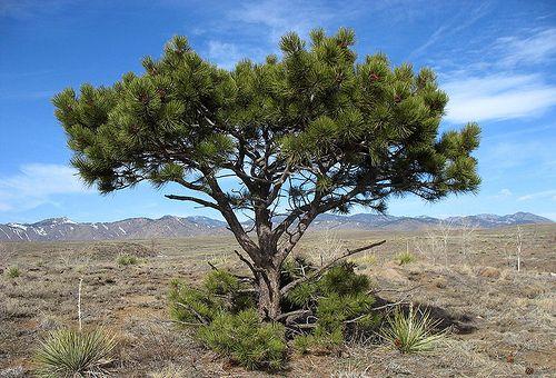Ponderosa pine at South Table Mountain Park by Jefferson County Colorado, via Flickr