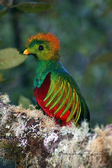 The Quetzal, the National bird of Guatemala