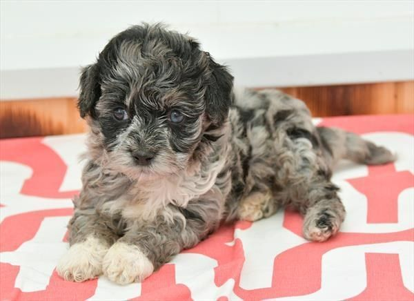 Petland Kansas City Has Cavachon Puppies For Sale Check Out All