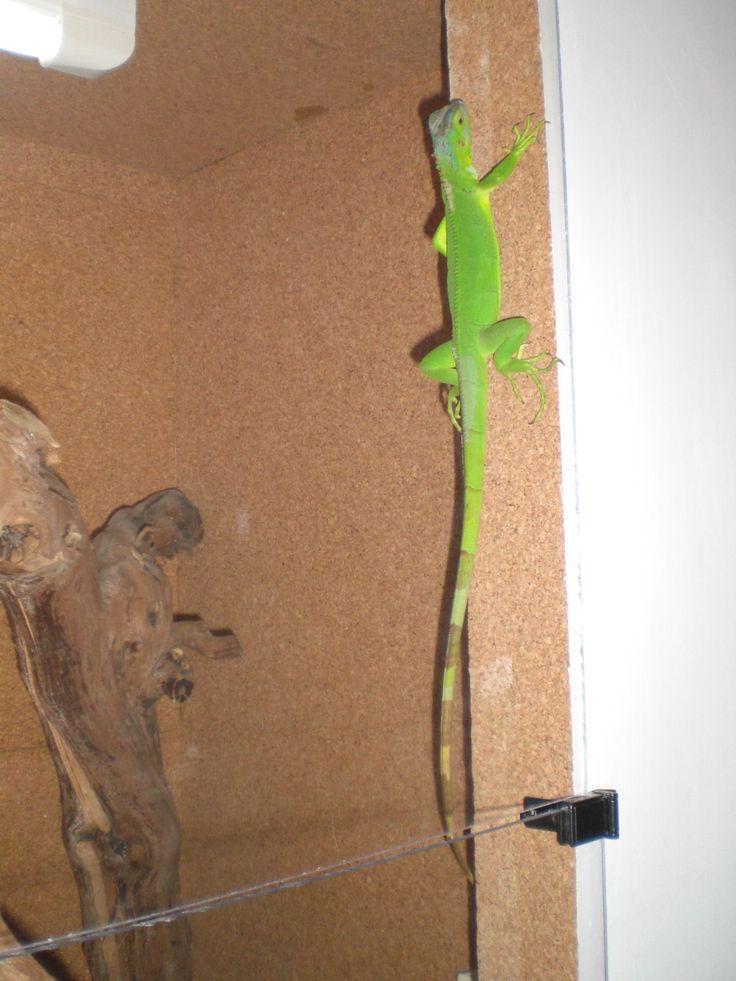 Green Iguana....la nostra Gianna