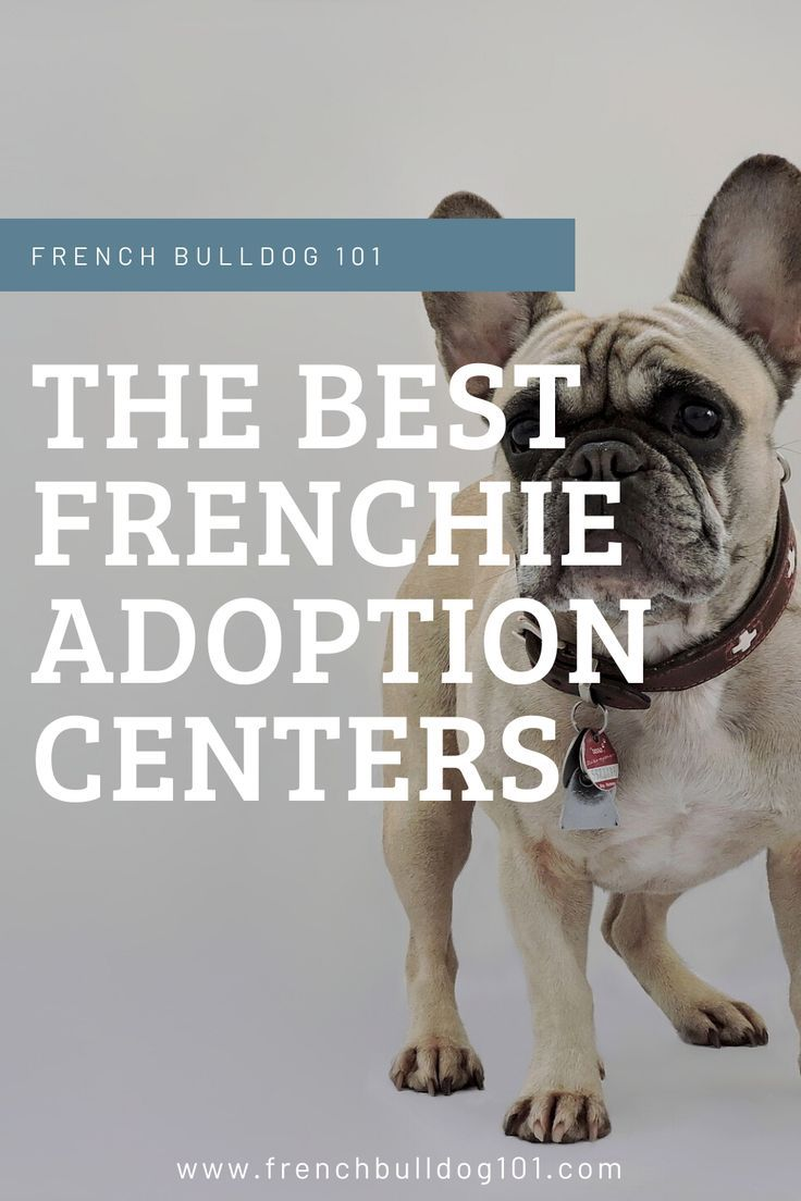 Best frenchie adoption centers in 2020 french bulldog