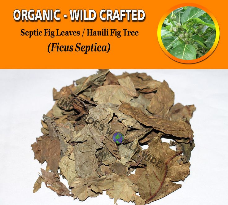 Septic Fig Leaves Hauili Fig Tree Ficus Septica Organic Wild Crafted FREE SHIP #Unbranded