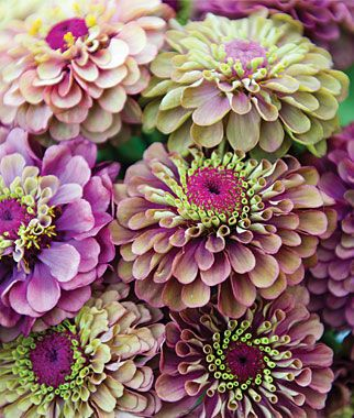 "Queen Red Lime is an exotic bicolor zinnia with 2 1/2"" to 3"" flowers that are thickly layered with maroon red petals, then crowned with lime green. Vigorous plants grow to 40"" high, with long-stemmed, uniformly colored blooms. Use in masses for borders and in fresh bouquets. Seeds from Burpee."